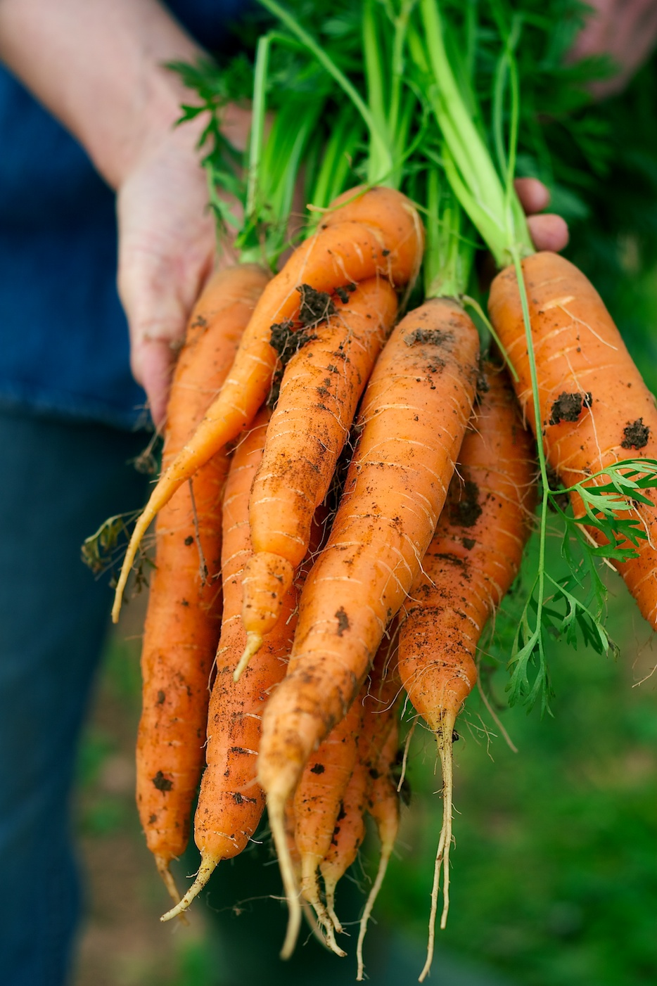 ironwood farm | movita beaucoup | carrots