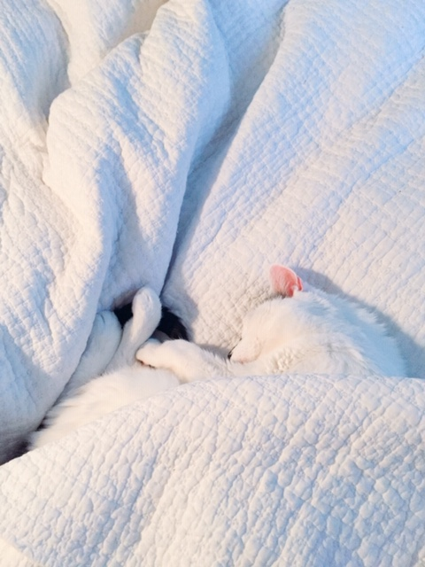 niles napping under the covers